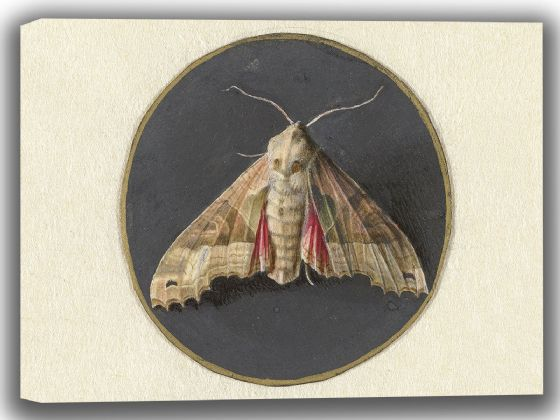 Goes, Jan Augustin van der: Owlet Moth. Fine Art Canvas. Sizes: A4/A3/A2/A1 (004067)